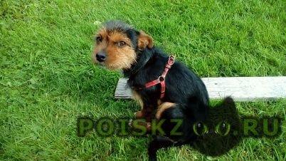 Пропала собака кобель рики г.Санкт-Петербург
