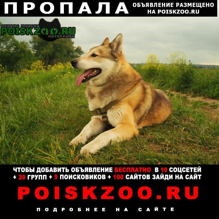 Пропала собака лайка кобель немолодой трехцветный Звенигород