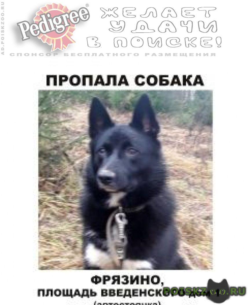 Пропала собака кобель, русско-европейская лайка г.Фрязино