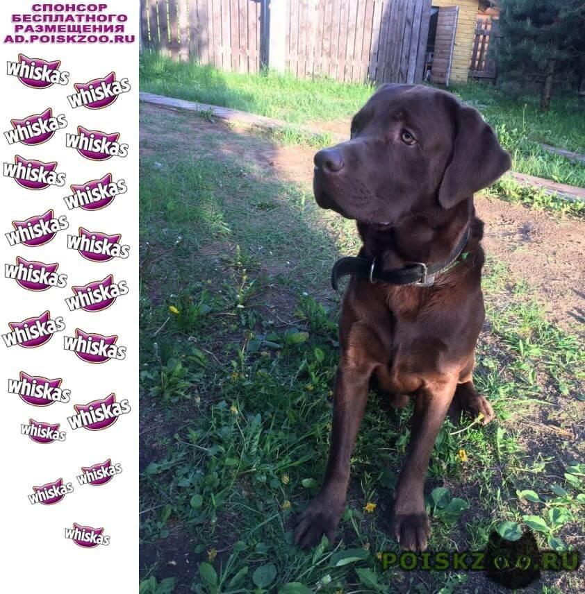 Пропала собака кобель шоколадный лабрадор г.Зеленоград
