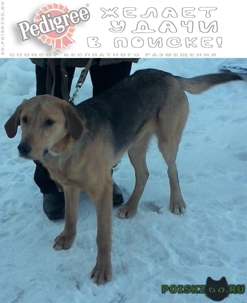 Пропала собака кобель русская гончая г.Рыбинск