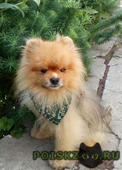 Пропала собака кобель щпиц немецкий г.Энгельс