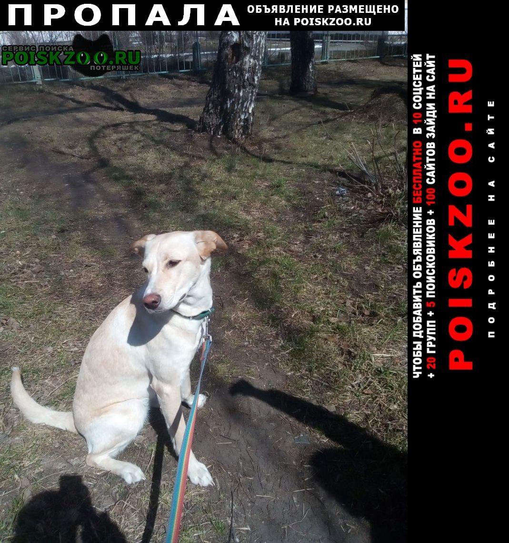 Пропала собака, похожа на лабрадора Новосибирск