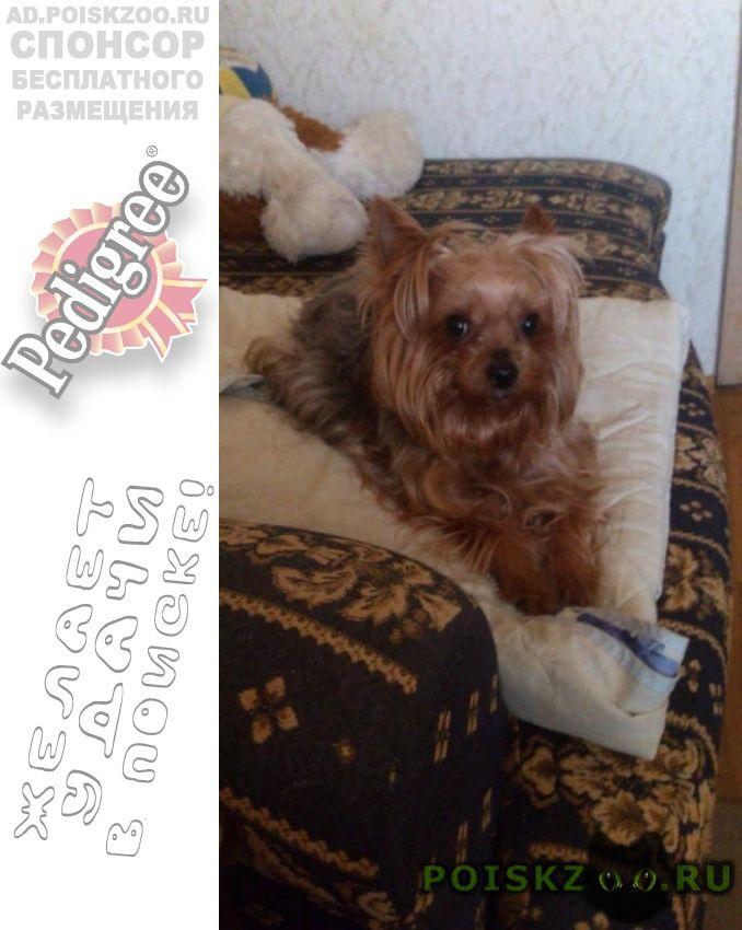 Пропала собака йорк девочка г.Москва