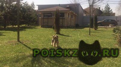 Пропала собака йорк г.Долгопрудный