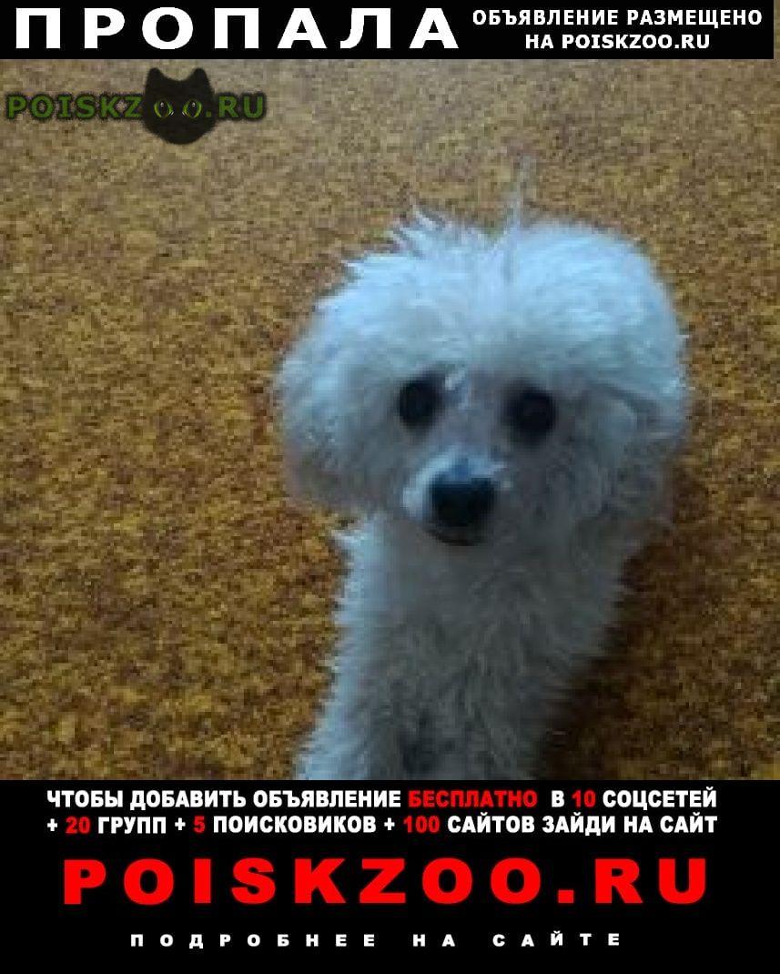 Пропала собака карликовый пудель в розовом комбинезоне г.Курган