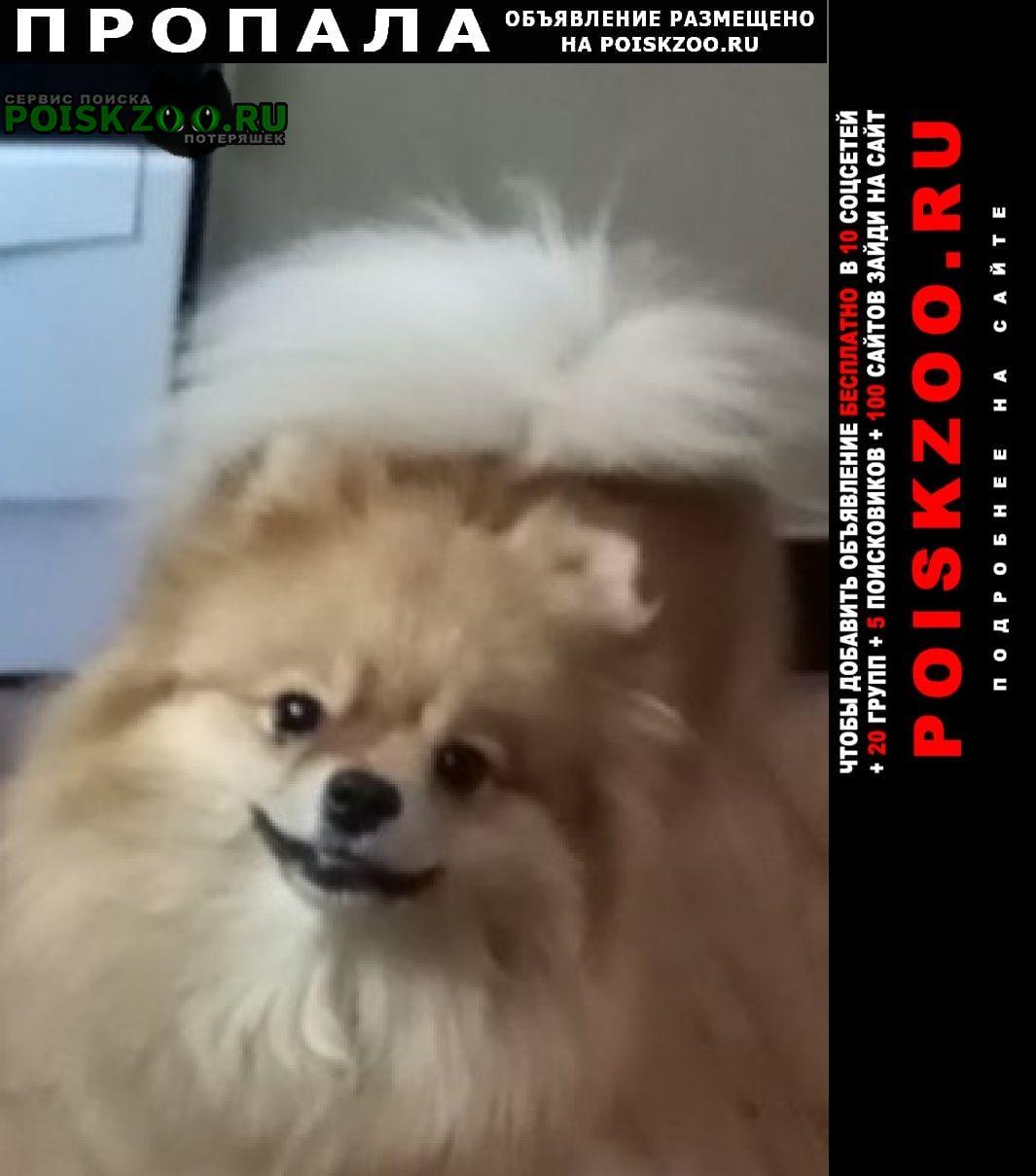 Саратов Пропала собака шпиц