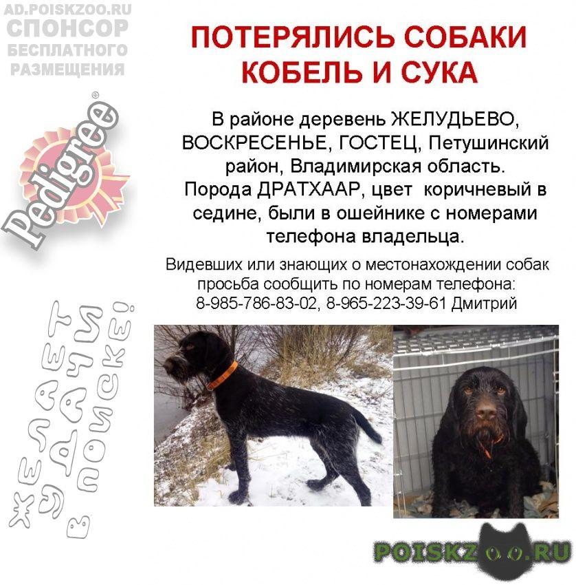 Пропала собака кобель и сука г.Владимир