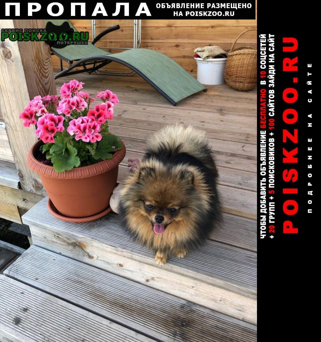 Пропала собака девочка карликовый шпиц Гатчина