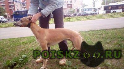 Пропала собака кобель уиппет в результате дтп   г.Гатчина