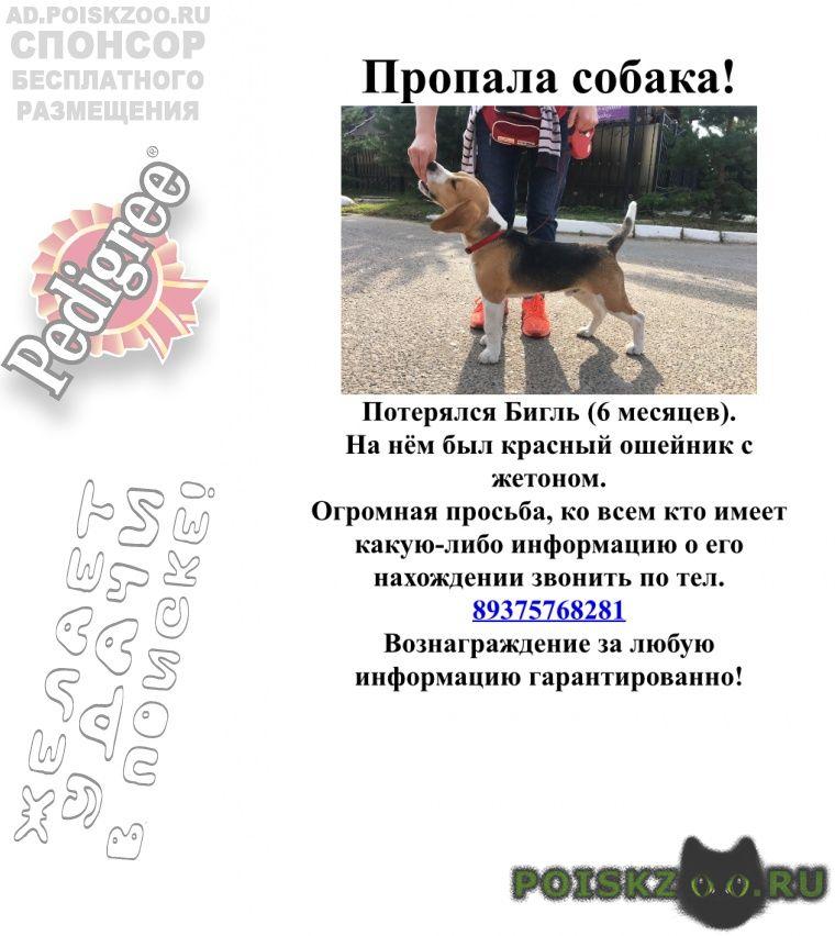 Пропала собака кобель бигль г.Казань