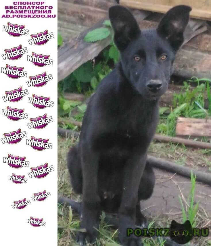 Пропала собака кобель метис лабрадора, мес, салмачи г.Казань
