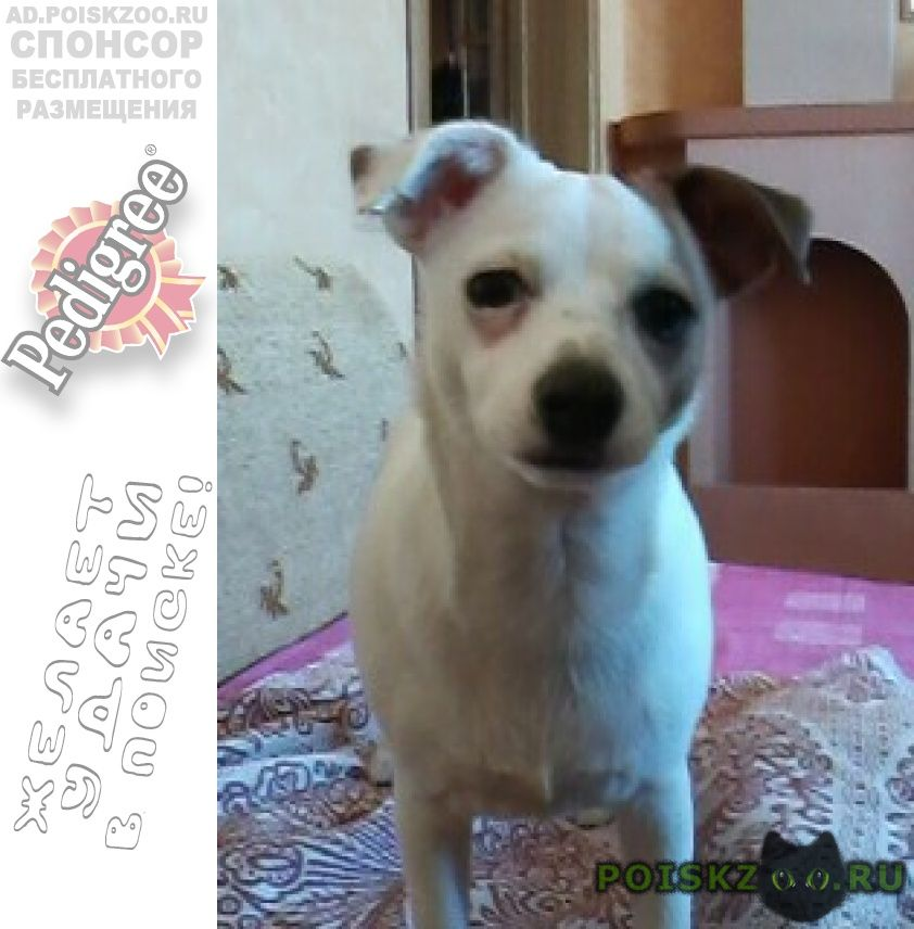 Пропала собака девочка джек рассел года в кузьминках г.Москва