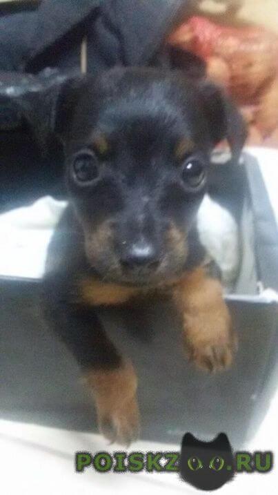 Пропала собака кобель щенок 2 месяца г.Геленджик