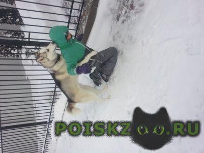 Пропала собака кобель хаски г.Смоленск