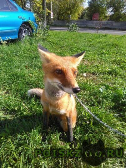Пропало домашнее животное домашняя лиса г.Серпухов