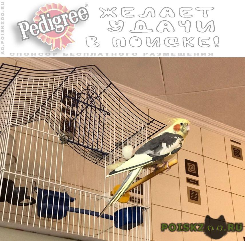 Пропал попугай  вылетел в окно г.Белгород
