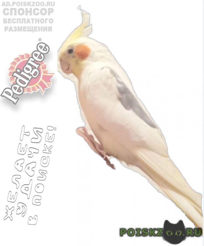 Пропал попугай корелла г.Раменское