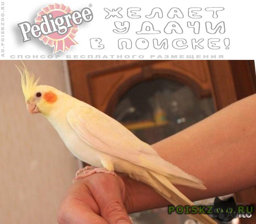 Пропал попугай желтый корелла г.Балашиха