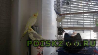 Пропал попугай корелла г.Новосибирск