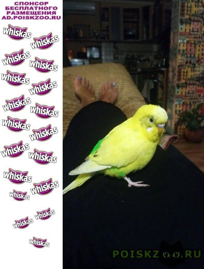 Пропал попугай в на бытхе улетел желтый волнистый г.Сочи