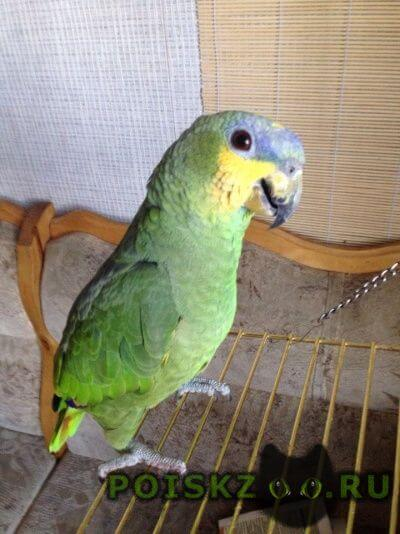 Пропал попугай венесуэльский амазон ( ) г.Тольятти