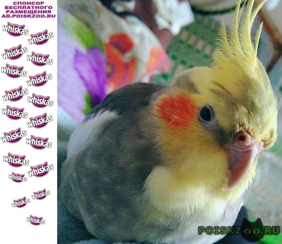 Пропал попугай улетел породы корелла г.Шахты
