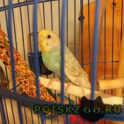 Пропал попугай улетел волнистый г.Москва