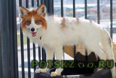 Пропало домашнее животное лиса г.Санкт-Петербург