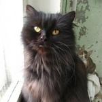 Найдена кошка котенок черного окраса г.Рыбинск