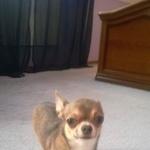 Пропала собака чихуахуа Всеволожск