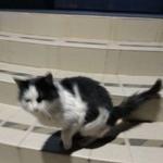 Найдена кошка черно-белая длинношерстная г.Подольск