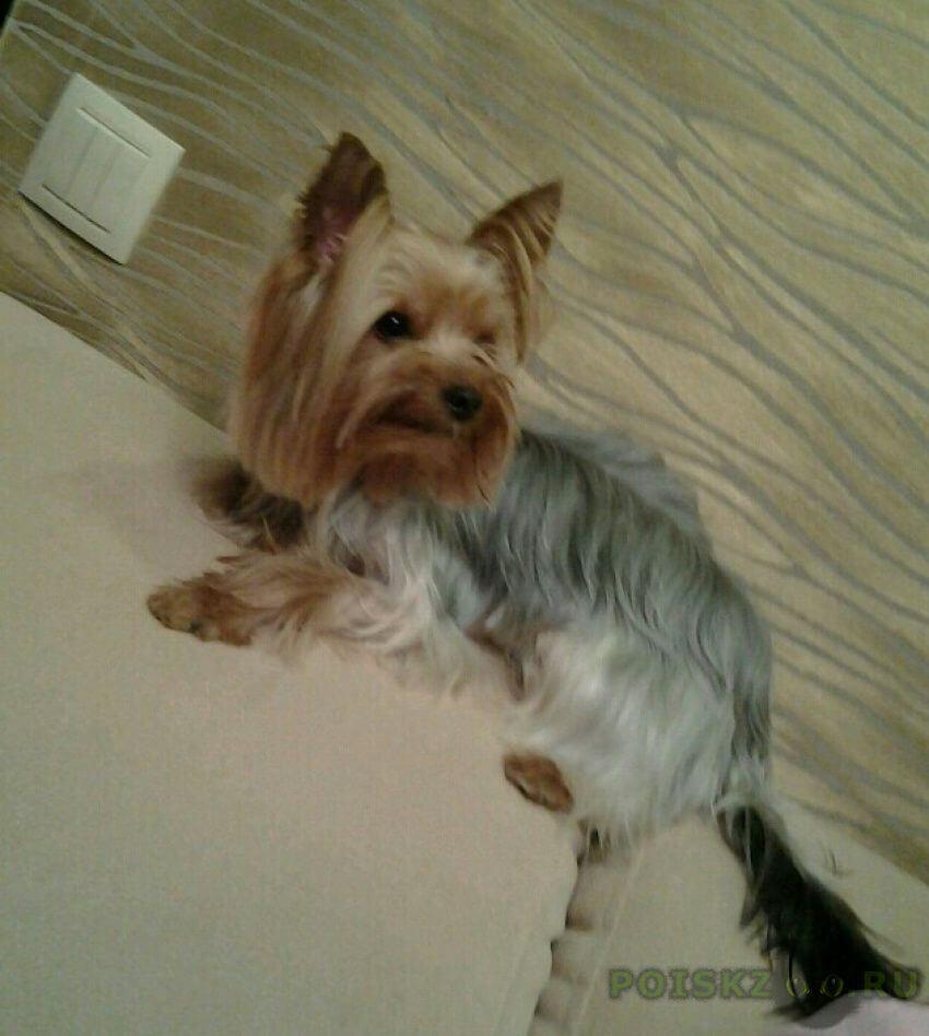 We love yorkshire terriers! yorkie puppy